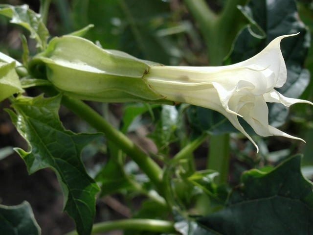 Thorn-Apple (Datura stramonium)