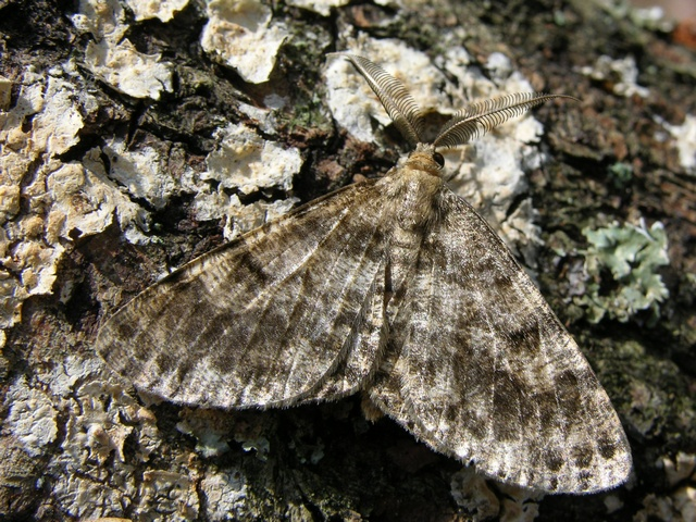 Satin Beauty (Deileptenia ribeata)