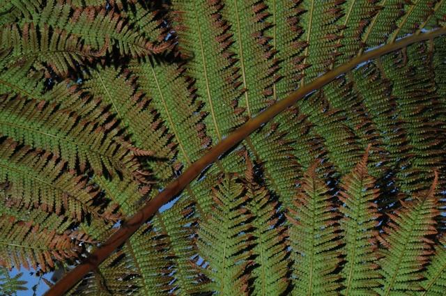 Dicksoniaceae image