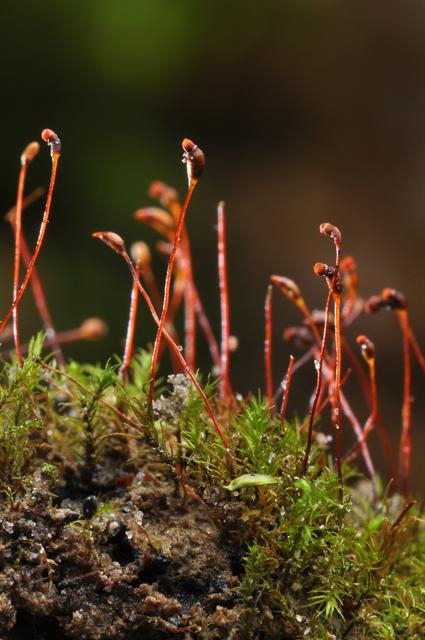 Variable Forklet-moss (Dicranella varia)