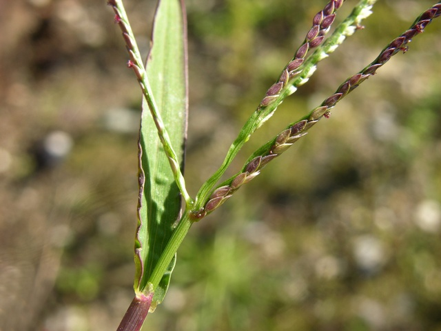 Smooth Finger-Grass (Digitaria ischaemum)