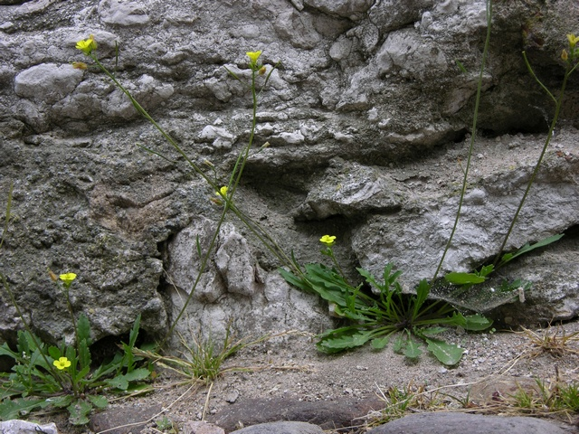 Annual Wall Rocket (Diplotaxis muralis)