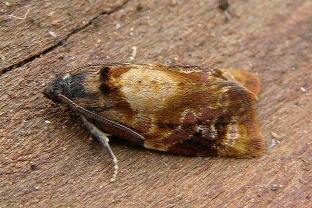 Red-barred Tortrix (Ditula angustiorana)