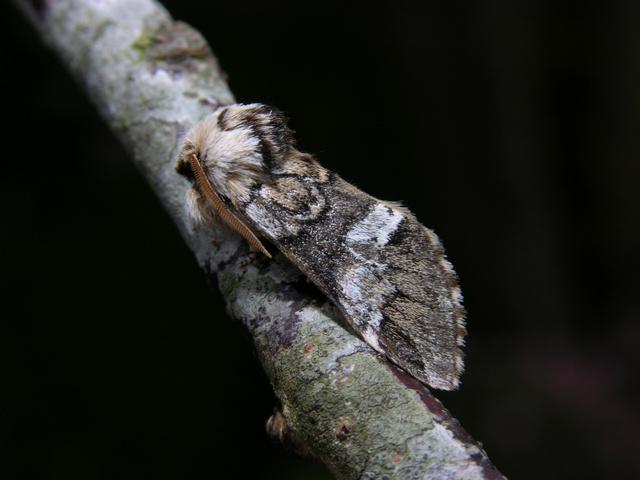 Light Marbled-brown (Drymonia dodonaea)