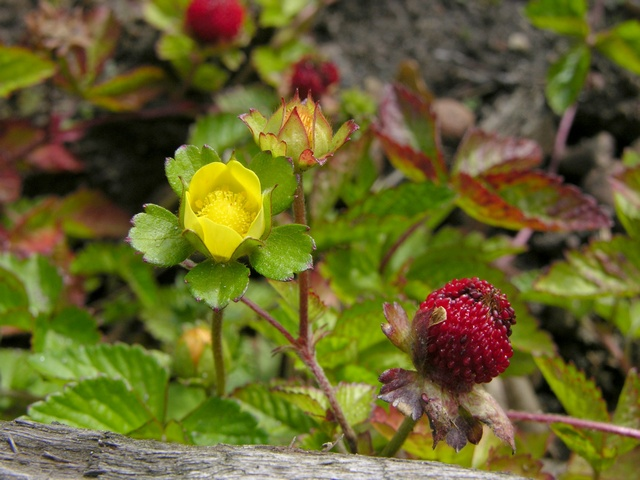 Yellow-flowered Strawberry (Duchesnea indica)