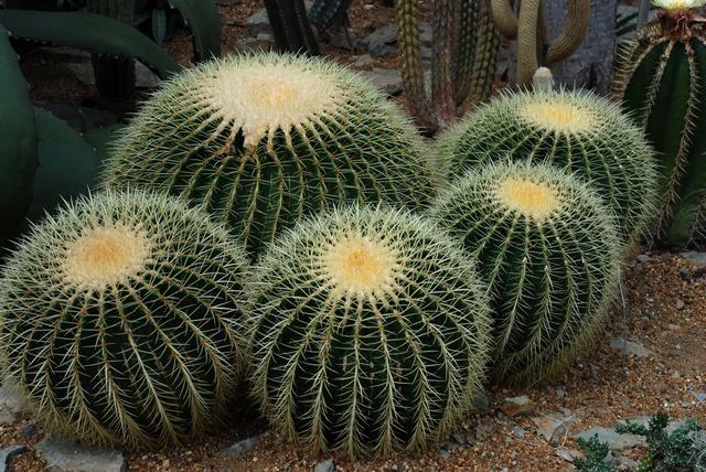 Echinocactus grusonii image