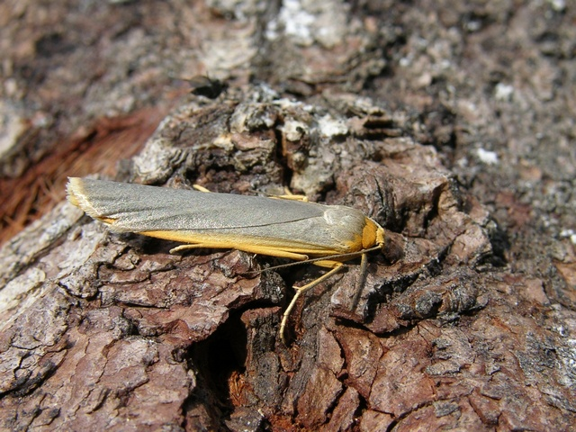 Scarce Footman (Eilema complana)