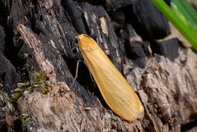 Orange Footman (Eilema sororcula)