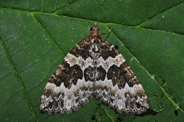 Broken-barred Carpet (Electrophaes corylata)