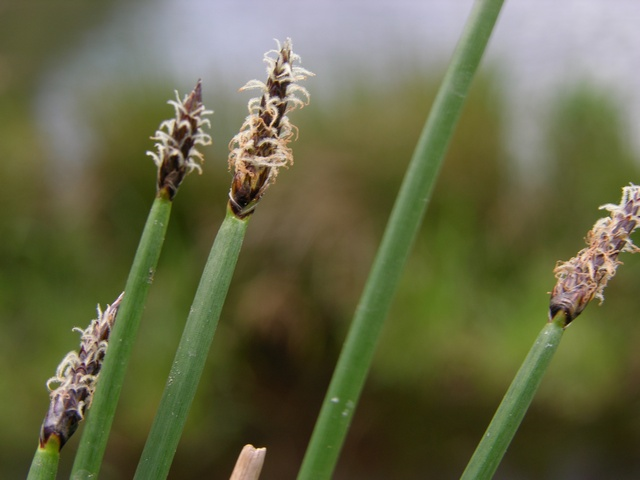 Common Spike-rush     (Eleocharis palustris ssp. waltersii)