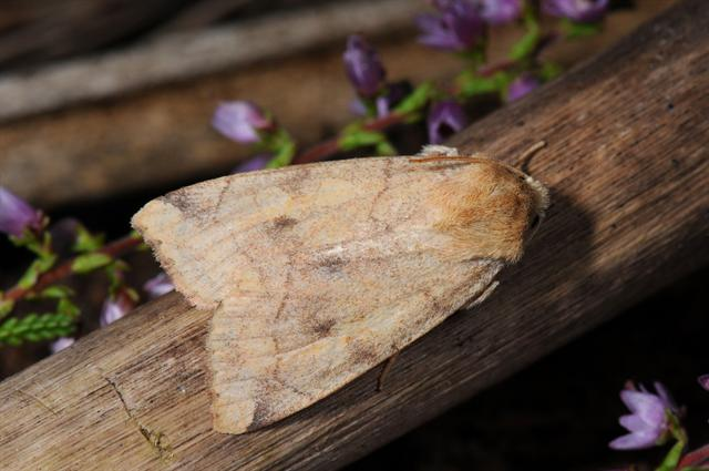 Angle-striped Sallow (Enargia paleacea)