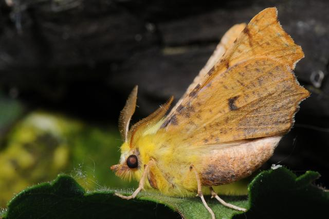 Canary-shouldered Thorn (Ennomos alniaria)