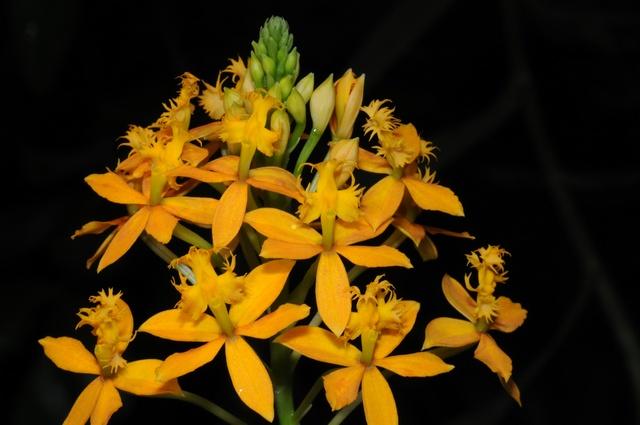 Epidendrum image