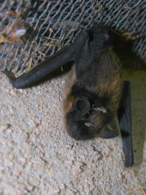 Northern Bat (Eptesicus nilssoni)
