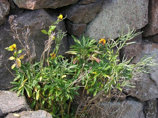 Brassicaceae image