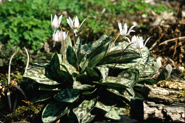 Dogs-Tooth-Violet (Erythronium dens-canis)