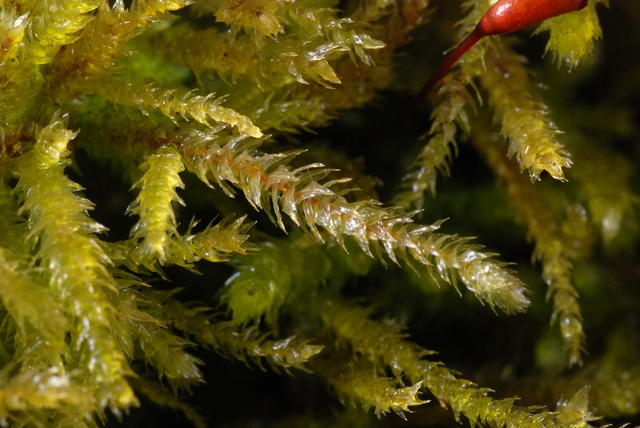 Common Striated Feather-moss (Eurhynchium striatum)