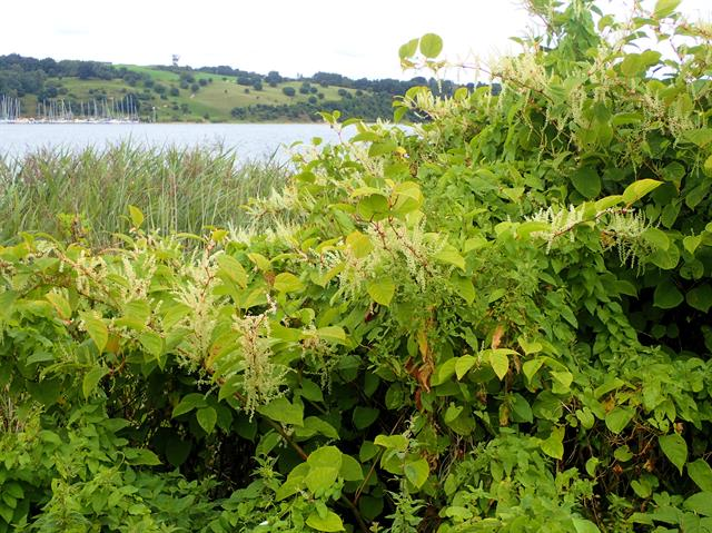 Japanese Knotweed (Fallopia japonica)