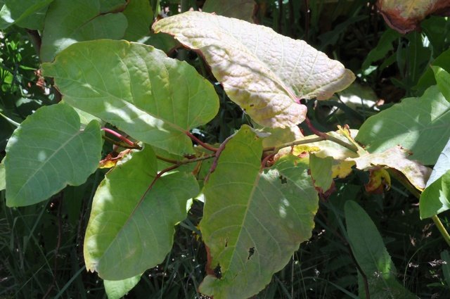 Giant Knotweed (Fallopia sachalinensis)
