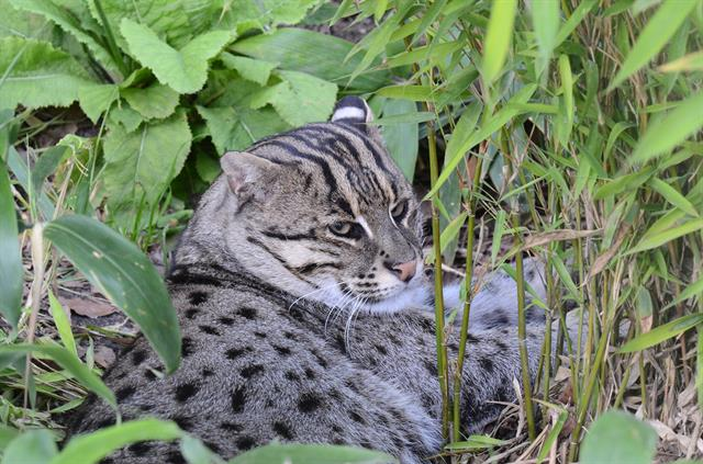 Fishing Cat (Felis viverrina)
