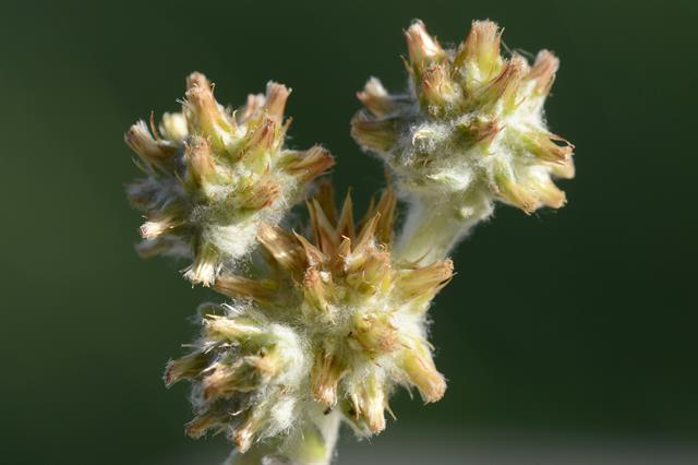 Red-tippede Cudweed (Filago lutescens)