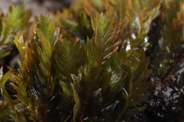 Rock Pocket Moss (Fissidens dubius)