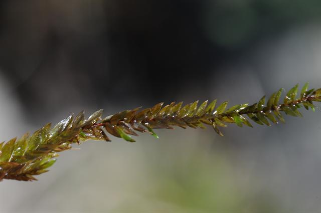 Greater water-moss (Fontinalis antipyretica)