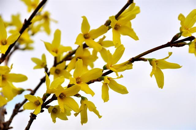 Forsythia x intermedia photo