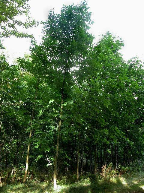 Fraxinus Americana White Ash Family Name Oleaceae