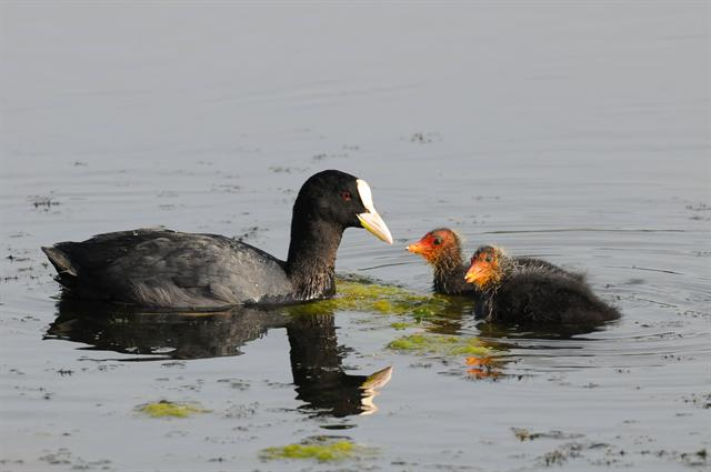 Common Coot (Fulica atra)