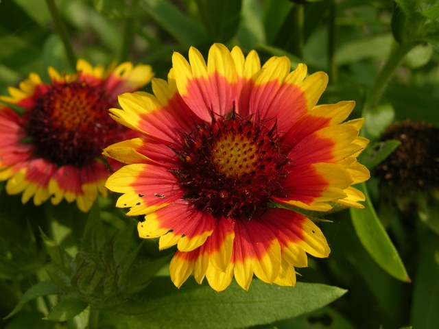 Image of Gaillardia aristata