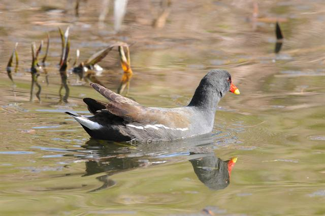 Common Moorhen (Gallinula chloropus)