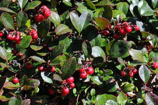 Image of Gaultheria humifusa