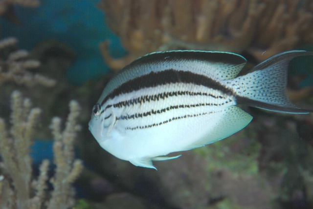Blackstriped angelfish (Genicanthus lamarck)