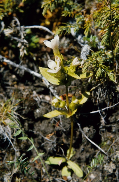 Gentianella campestris var. islandica photo
