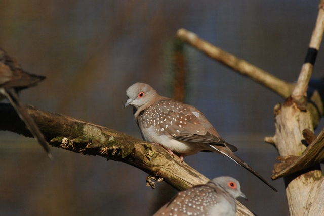 Diamond Dove (Geopelia cuneata)