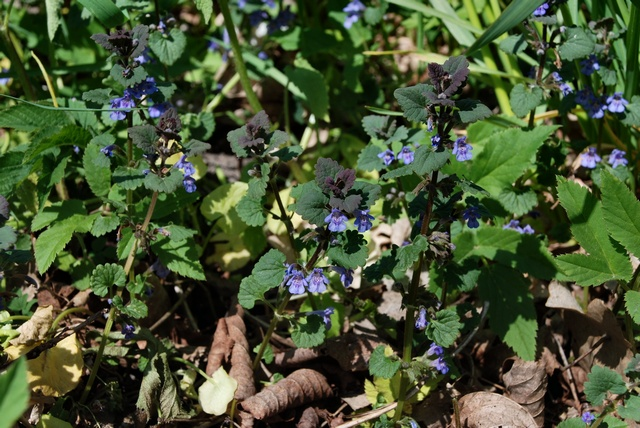 Ground Ivy (Glechoma hederacea)