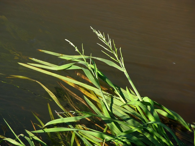 Floating Sweet-Grass - Flote-Grass (Glyceria fluitans)