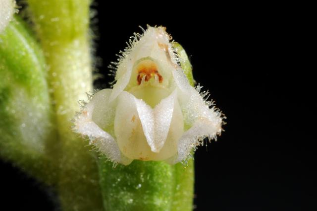 Image of Goodyera repens