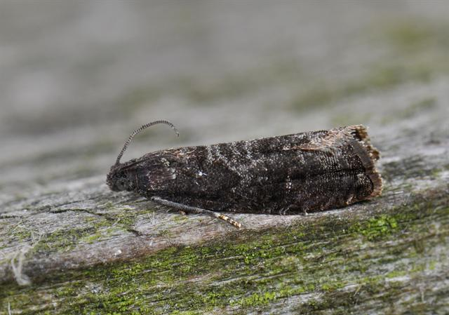 Plum Fruit Moth (Grapholita funebrana)