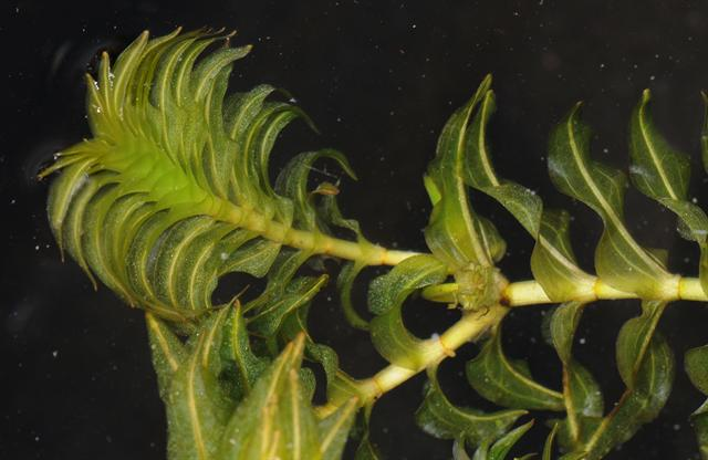 Opposite-leaved Pondweed - Opposite Pondweed (Groenlandia densa)