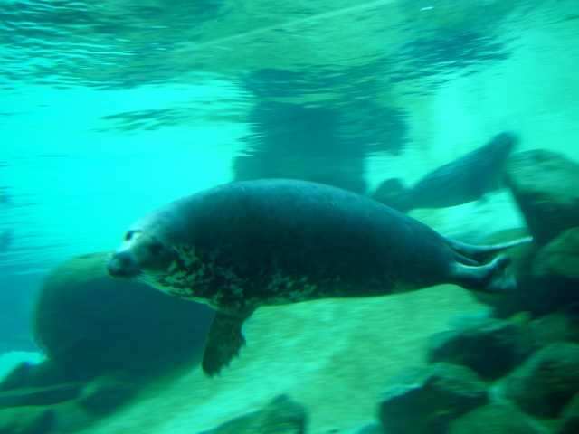 Grey Seal (Halichoerus grypus)
