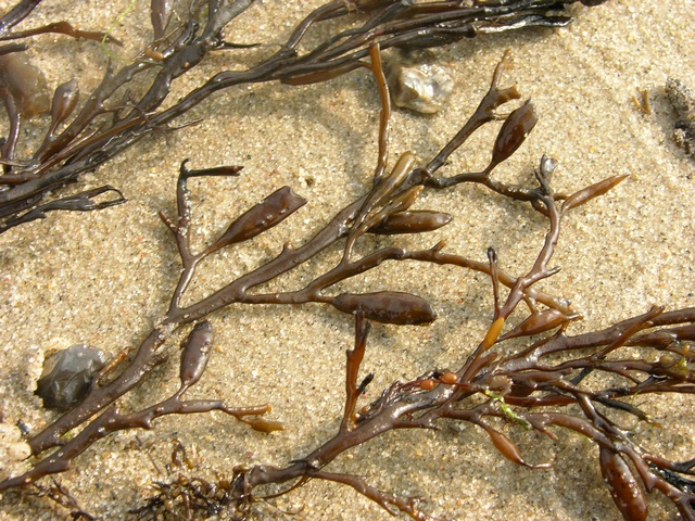 Sea Oak (Halidrys siliquosa)