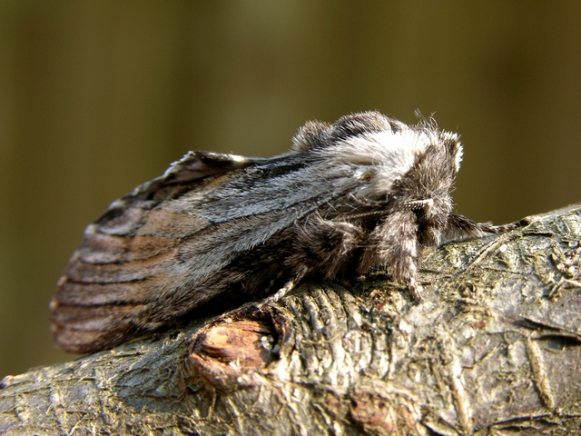 Tawny Prominent (Harpyia milhauseri)