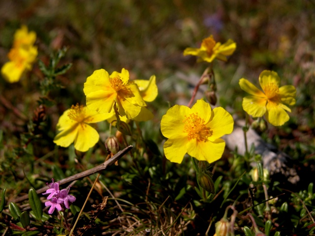 Common Rock-Rose (Helianthemum nummularium)