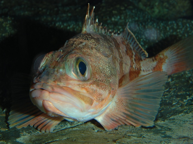 Bluemouth, Blackbelly rosefish (Helicolenus dactylopterus)