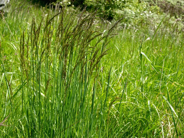 Downy Oat-Grass - Downy Oat (Helictotrichon pubescens)