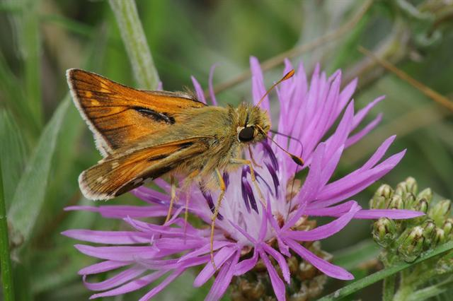 Common Branded Skipper (Hesperia comma)