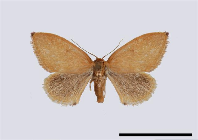 Triangle (Heterogenea asella)