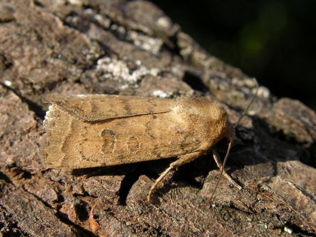 Hoplodrina octogeneria